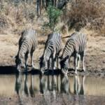 119-Three Zebras, South Africa