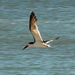 Tern - 684_103b-cr-Cape May, NJ