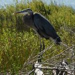Blue heron - Great Neck Island, MD-683_033_ a-cr
