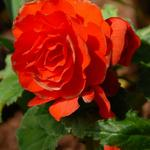 676-015 a-cr-Red begonia