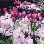 300-Spring Tulips